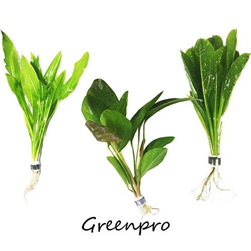 3 Species Amazon Sword 10+ Stems Echinodorus Bleheri | Red Rubin | Parviflorus Rosette Easy Live Aquarium Plants Package By Greenpro by GreenPro