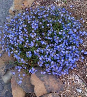 Classy Groundcovers - Veronica 'Georgia Blue' 'Oxford Blue', Cambridge Blue', Speedwell 'Georgia Blue' {25 Pots - 3 1/2 in.} by Classy Groundcovers (Image #7)