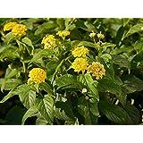 Gelbes Wandelröschen - Dekorative Kübelpflanze im 3 Lt.-Topf