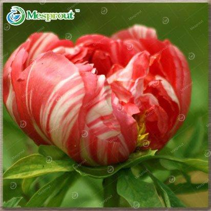 (Chinese Suffruticosa Flower Seeds Peony Plants Peony Seeds 10 Seeds 13#32672480038ST)