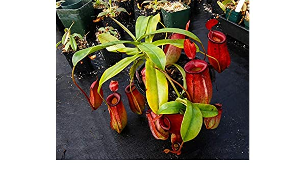 FERRY Semillas orgánicas única No Plantas: Medio: Nepenthes Lady ...