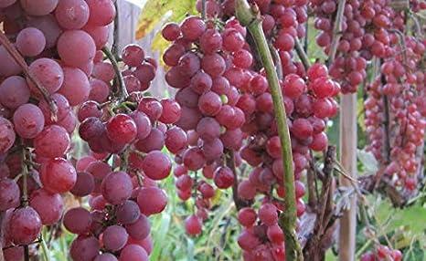 Red Flame Seedless Grape 1 Gal Vine Plant Vines Gardens Buy Healthy Grapes Plants Garden Vineyard Grapes Vineyards Natural Antioxidants
