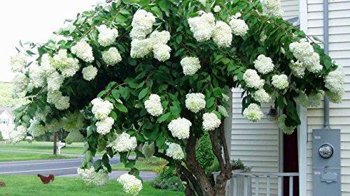 Pee Gee Hydrangea Tree Form - Live Plants Shipped 3 Feet Tall (No - Hydrangea Tree