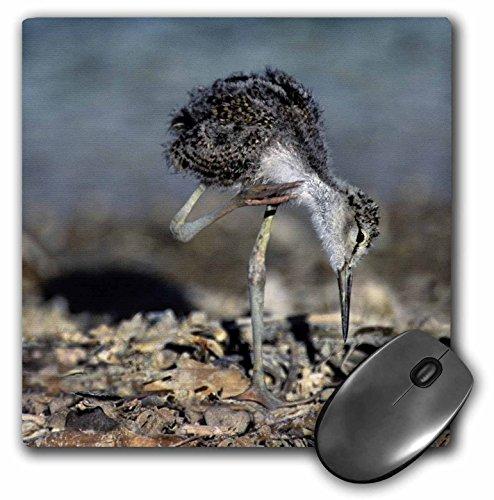 Danita Delimont - Birds - California, Salton Sea NWR, blacknecked stilt bird - US05 BJA0208 - Jaynes Gallery - MousePad (mp_88200_1)