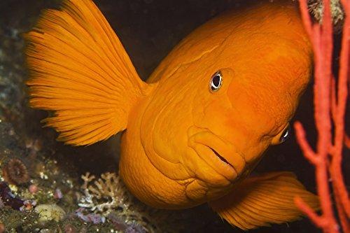 Californias state fish the Garibaldi damselfish (Hypsypops rubicundus) Poster Print (19 x 12) (Garibaldi Fish)
