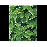 200 Urtica Dioica Seeds / Stinging Nettle / Arthritis Herb