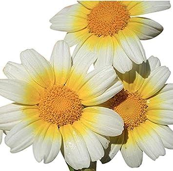 Amazon 1000 Seeds Garland Daisy Perennial Full Sun Daisy