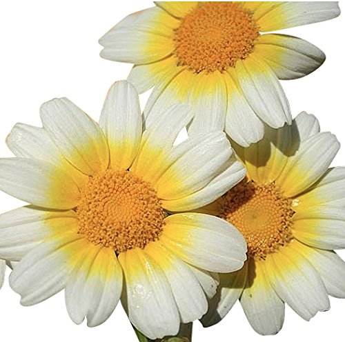 1000 Seeds - Garland Daisy - Perennial, Full Sun Daisy
