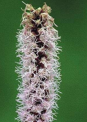 Prairie Blazing Star (Liatris pycnostachya), 200 Certified Pure Live Seed, True Native (Prairie Blazing Star)