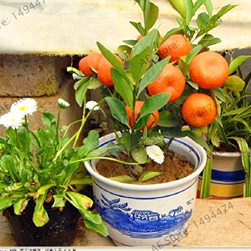 Bloom Green Co. ¡Auténtico!Bonsai de frutas Enano de pie Naranjo ...