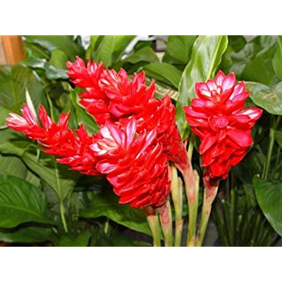 4 Hawaiian RED (Awapuhi`Ula`Ula) Ginger Plant Roots by Discount Hawaiian Gifts: Toys & Games