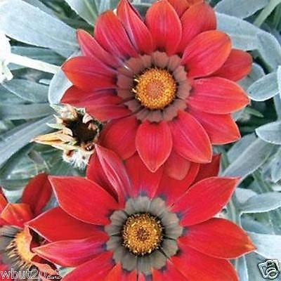 - Gazania 25 Seeds - Kiss Frosty Red - Large Round, Deep Red Flowers