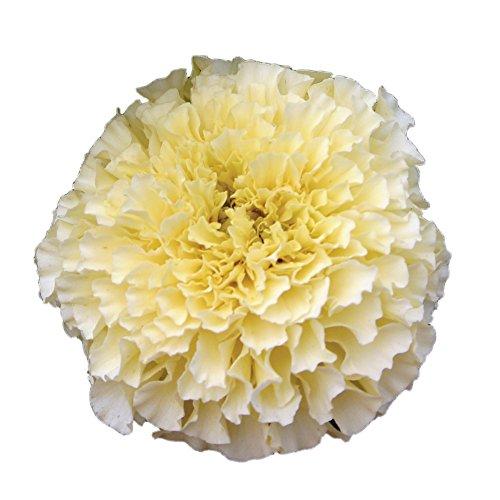 (Burpee French Vanilla Hybrid Marigold Seeds 50 seeds)