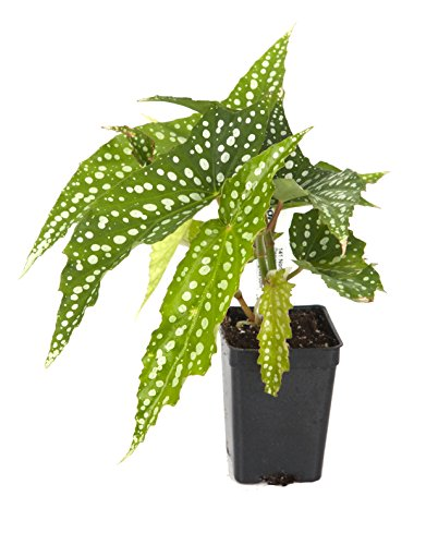 Begonia 'My Special Angel' Plant (Begonia fibrous hybrid)