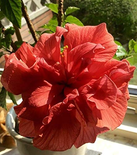 (10 Rare Double Red Hibiscus Seeds Giant Dinner Plate Flower Garden Exotic)