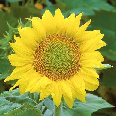 David's Garden Seeds Sunflower Zebulon D1709 (Yellow) 25 Open Pollinated Seeds (Yellow Seeds 25 Sunflower)