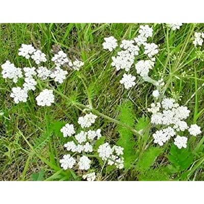 400 Caraway Carum Carvi Herb Flower Herb Seeds LUC-RR : Garden & Outdoor