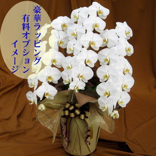 胡蝶蘭 喜寿のお祝いに贈るならこれ 期日指定可能商品 B004252DXG