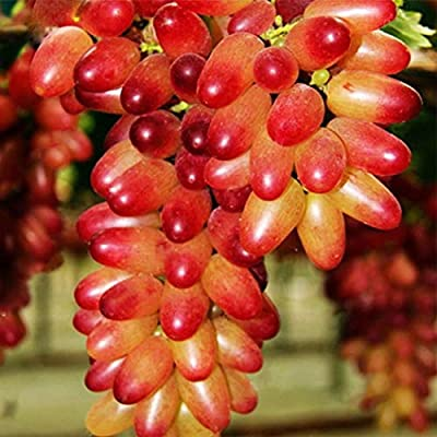 LEANO Grape Seeds for Planting, Delicious Fruit Seeds, Sweet Grape Seeds Home Garden Easy Planting Seeds : Garden & Outdoor