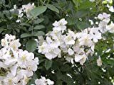 10 WHITE JAPANESE ROSE / RUGOSE ROSE Rosa Rugosa Alba Flower Seeds