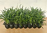 Super Blue Liriope Muscari - 40 Live Plants - Evergreen Ground Cover Grass