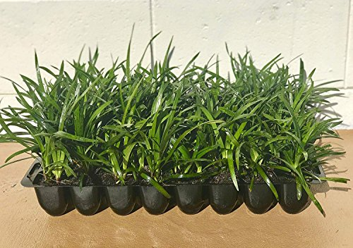 Super Blue Liriope Muscari - 20 Live Plants - Evergreen Ground Cover ()