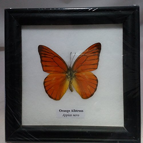 picture-frames-home-decor-rare-framed-real-beautiful-orange-albtross-butterfly-display-insect-taxide