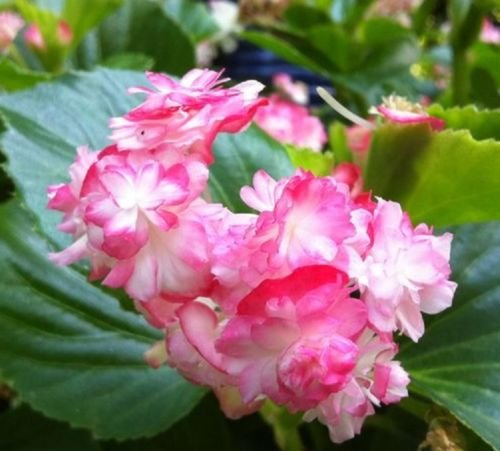DOUBLE BEGONIA - CHERRY BLOSSOM LIVE PLANT - 3' size pot - 2 PLANTS - GREEN LEAF