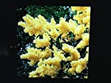 3 Yellow Lilac Trees 6-10 in Plants Shrub Blooms Sale Today ONLY Live Plants