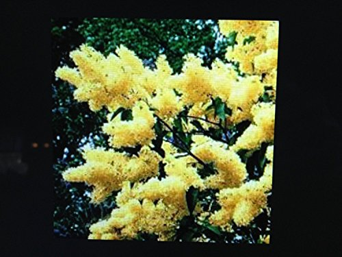 3 Yellow Lilac Trees 6-10 in Plants Shrub Blooms Sale Today ONLY Live Plants by achmadanam (Image #1)