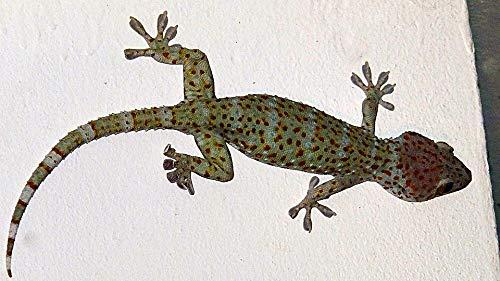 (Home Comforts Laminated Poster Gouni Gecko Tokay Gecko Vivid Imagery Poster Print 24 x 36)