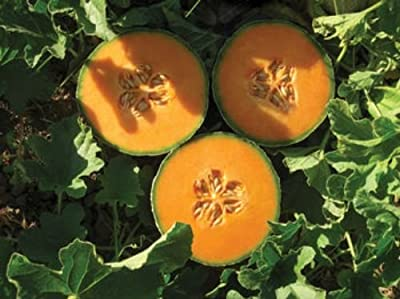 50 Lilliput Cantaloupe Seeds