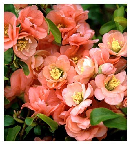 (Cameo Japanese Flowering Quince - Chaenomels - Healthy - Flowering - 1 Gallon Pot – 1 Plant by Growers Solution)