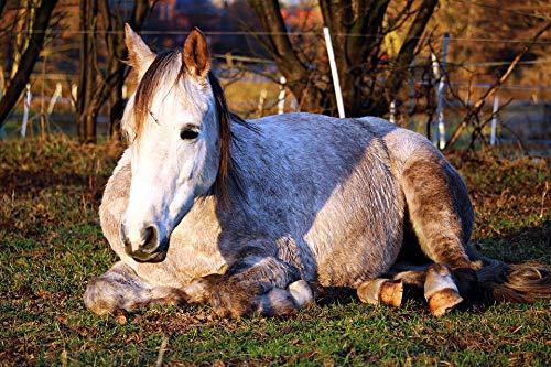 - Framed Art for Your Wall Sleep Thoroughbred Arabian Horse Lying Horse Mold Vivid Imagery 10 x 13 Frame