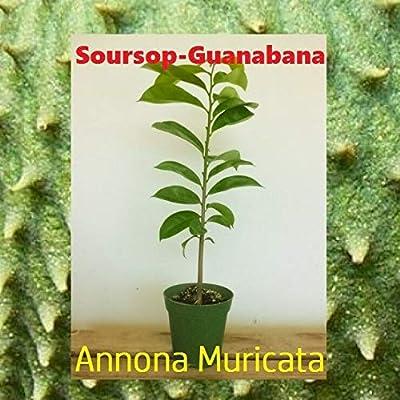 "Live Guanabana-Soursop Tropical Fruit Tree -Annona Muricata Tree 14"" to 16"" : Garden & Outdoor"