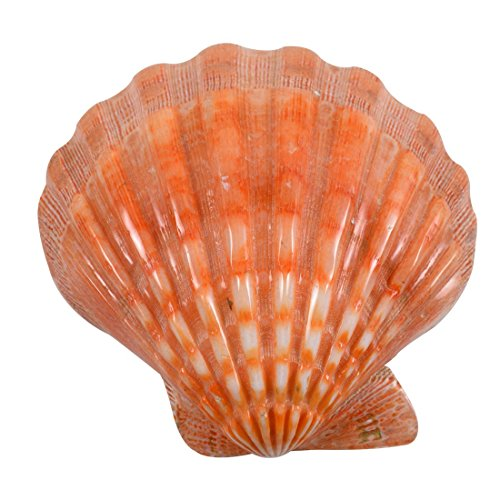 - 2 Lions Paw Decorative Shells Seashells - Orange Polished 5-6