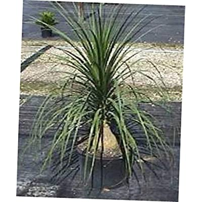 "LAY 1 Starter Plant Ponytail Palm~ Very Tough House Plant Succulent 1"" Caudex - RK158 : Garden & Outdoor"