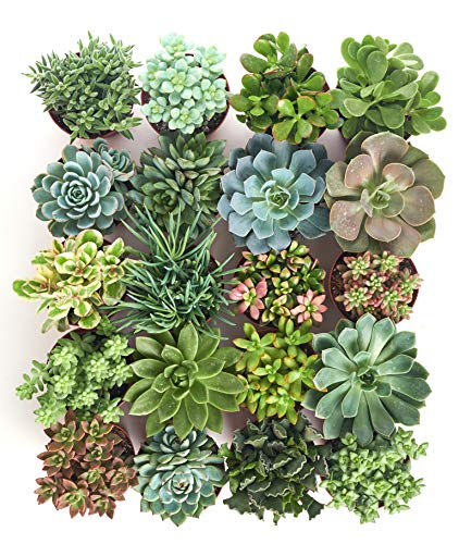 (Shop Succulents | Assorted Collection of Live Succulent Plants, Hand Selected Variety Pack of Succulents | Collection of 20 in 4