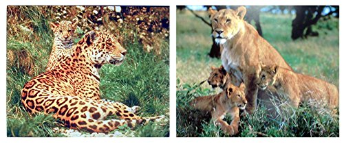 Wall Decoration Art Prints - Lion Cubs with Mother Wildlife Animal Picture 16x20 Two Set Leopard Posters ()