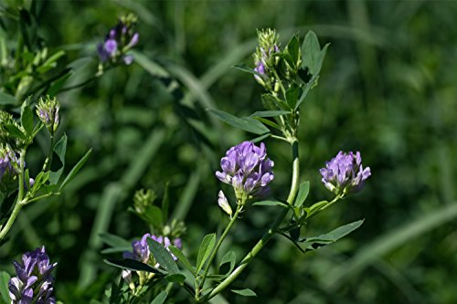 Alfalfa Seed (10 LBS) by Nature's Seed (Image #3)