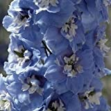 25 Mid Blue Magic Fountains White Bee Delphinium Flower Seeds Perennial