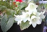 Campanula ochroleuca 100 Fresh Seed