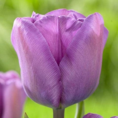 Tulip- Magic Lavender, (5 bulbs) delicate lavender blooms, will add that magical touch to your (Tulip Magic)