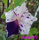 Seeds Shopp - Mix - Picotee Japanese Morning Glory Seeds - ipomoea Nil - RARE garden decoration plant 20pcs Hot Sale!