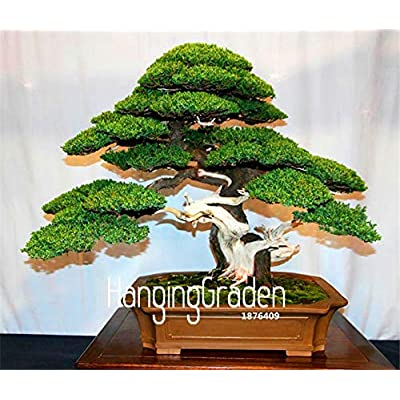 Big Promotion!50 Pcs/Bag Juniper Bonsai Tree Potted Flowers Office Bonsai purify The air Absorb Harmful Gases,#H8UW0G: Garden & Outdoor