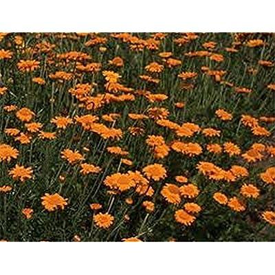 Marguerite Daisy- Orange- (Anthemis Tinctoria Kelwayl)- 100 Seeds : Garden & Outdoor