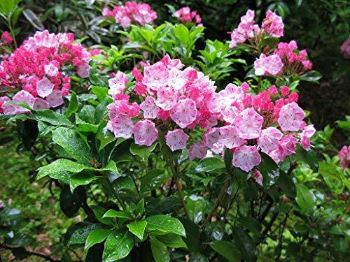 Mountain Laurel Shrub, Kalmia Latifolia, Seeds (50 Seeds) by Parahita - Shrubs Mountain Laurel