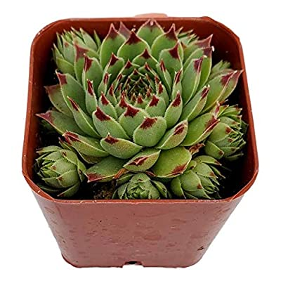 Fat Plants San Diego Hen's and Chicks Succulent Plant, Fully Rooted Sempervivum Calcareum in a 2 inch Growers Plastic Planter with Soil : Garden & Outdoor
