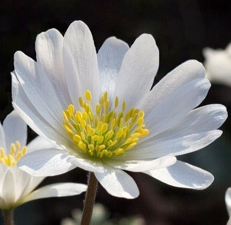 Lulan White Anemone Blanda Sparkling White - 40 Big Bulbs - 5/6 cm - GREAT Cut Flowers & Attractive to (Anemone Blanda Bulbs)