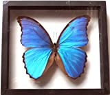REAL BUTTERFLY MORPHO DIDIUS INSECT TAXIDERMY FRAME WITH DOUBLE SIDE GLASS